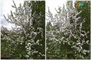 Яблони в цвету, возле школы № 1